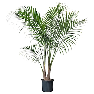 RAVENEA Potted plant, Majesty palm, 9 ¾ ""