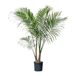 RAVENEA potted plant, Majesty palm