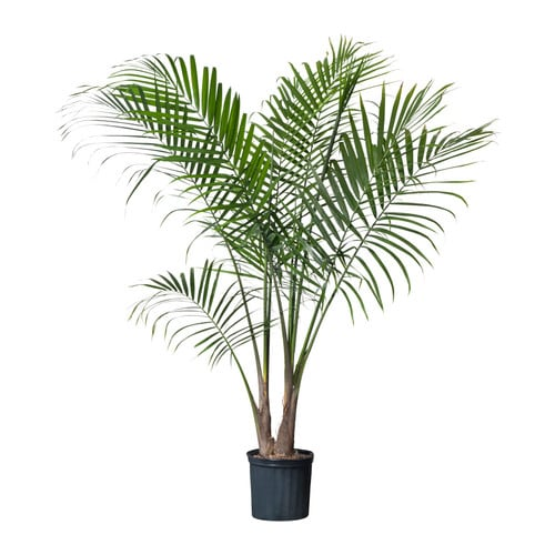 Ravenea Potted Plant