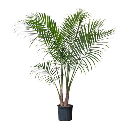 RAVENEA Potted plant, Majesty palm