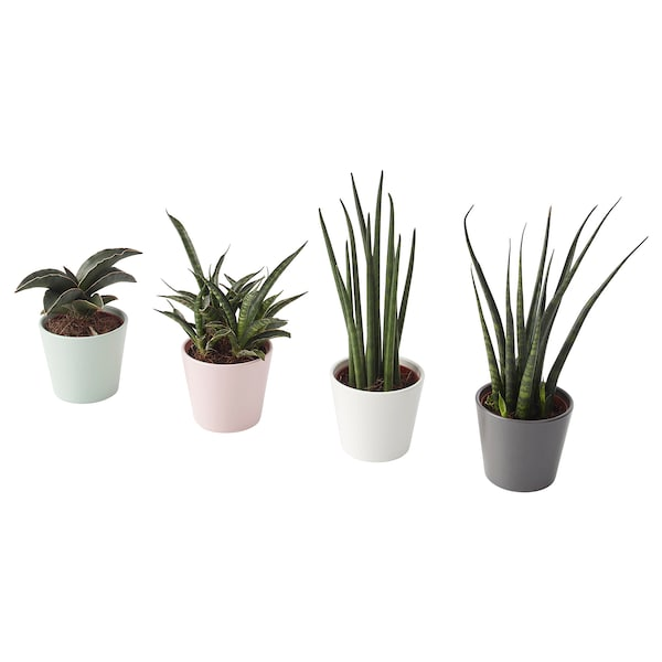 """SANSEVIERIA Plant with pot, Snake plant assorted colors, 2 ¼ """""""