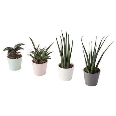 SANSEVIERIA Plant with pot, Snake plant assorted colors, 2 ¼ ""