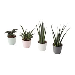 SANSEVIERIA plant with pot, Snake plant assorted colors