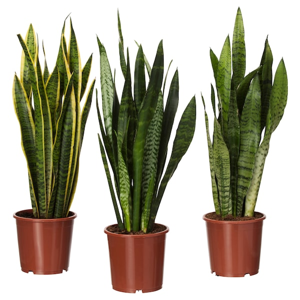 SANSEVIERIA TRIFASCIATA Potted plant, Mother-in-law's tongue, 6 ""