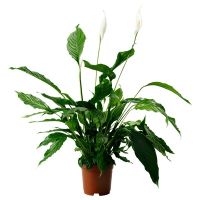 """SPATHIPHYLLUM potted plant Peace lily 6 """" 27 ½ """""""