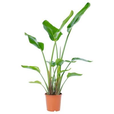 STRELITZIA Potted plant, white bird of paradise, 9 ¼ ""