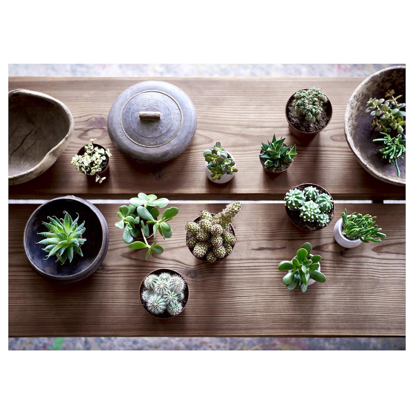 "SUCCULENT Potted plant, assorted species plants, 4 """