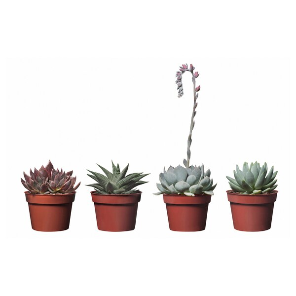 "SUCCULENT potted plant assorted species plants 4 "" 7 ¾ """
