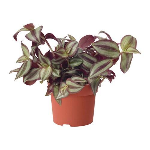 Tradescantia Potted Plant Ikea