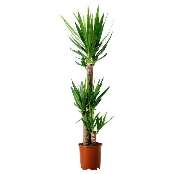 "YUCCA ELEPHANTIPES Potted plant, Spineless yucca/3-stem, 9 ½ """
