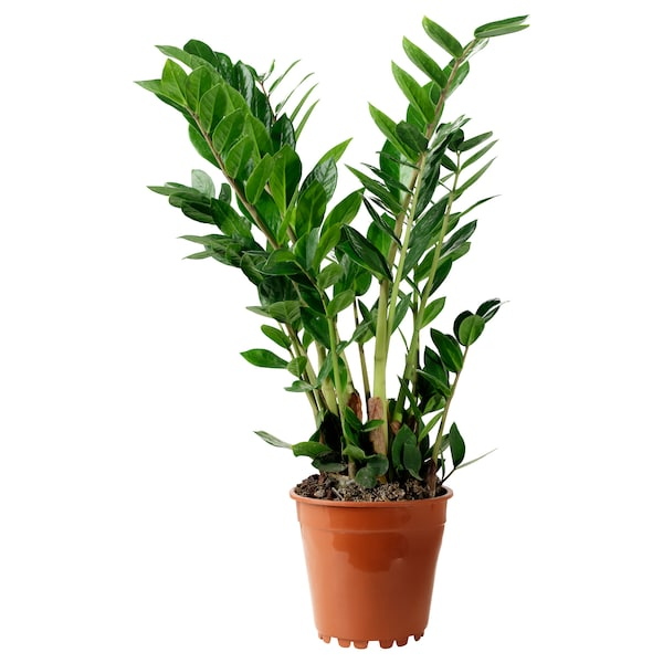 """ZAMIOCULCAS potted plant Aroid palm 17 ¾ """" 6 """""""